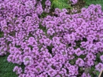 Thyme Serpolet Essential Oil Source